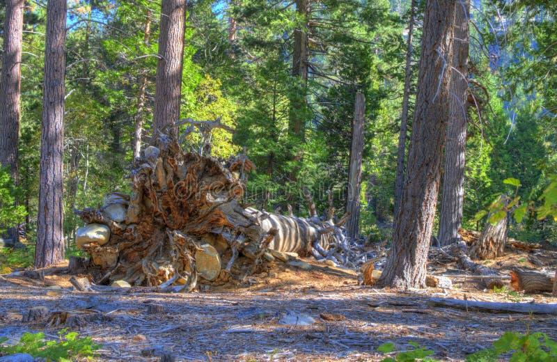 drzewo się zdjęcia royalty free