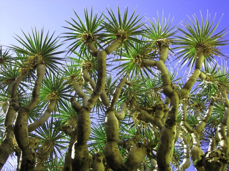 drzewo smoka. fotografia royalty free