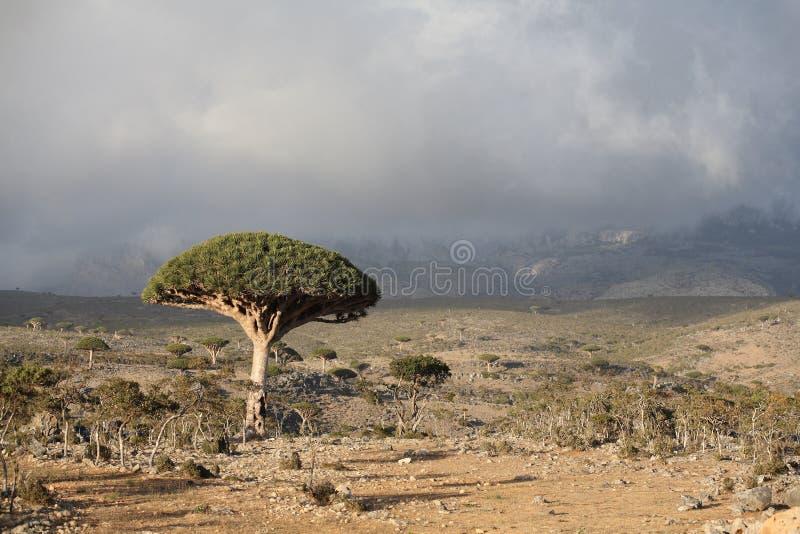 drzewo smoka. obraz stock