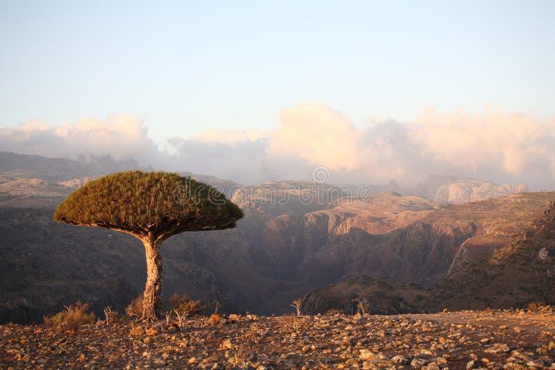 drzewo smoka. zdjęcia royalty free