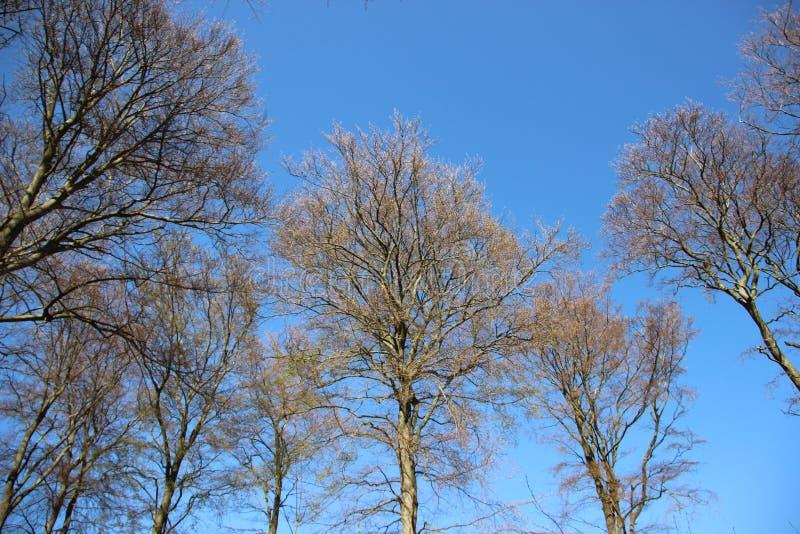 Drzewo Stawiaj?cy Naprz?d ?wiezi li?cie W wio?nie Czysty Naturalny zdjęcie royalty free