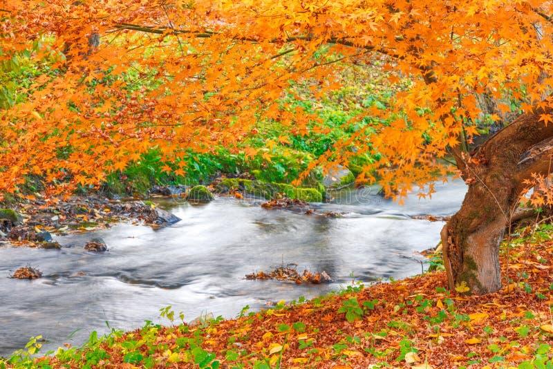 Drzewo strumieniem w jesieni zdjęcia stock