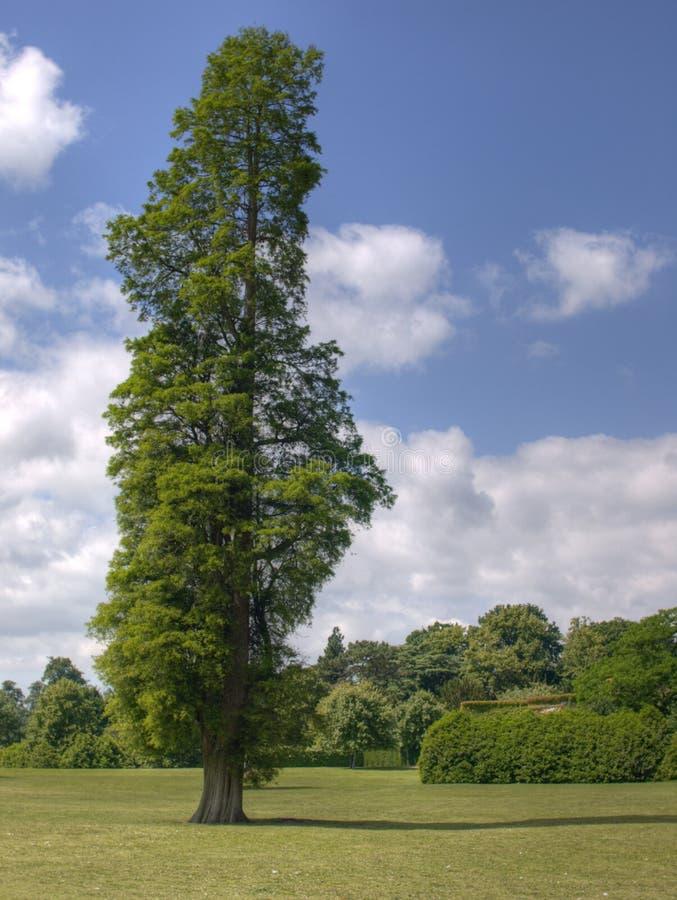 drzewo topolowy obrazy stock