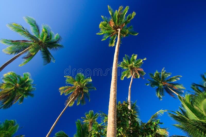 Download Drzewo Tropikalne Palm Raju Zdjęcie Stock - Obraz: 2727170