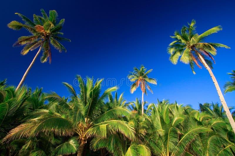 Download Drzewo Tropikalne Palm Raju Obraz Stock - Obraz: 2727723