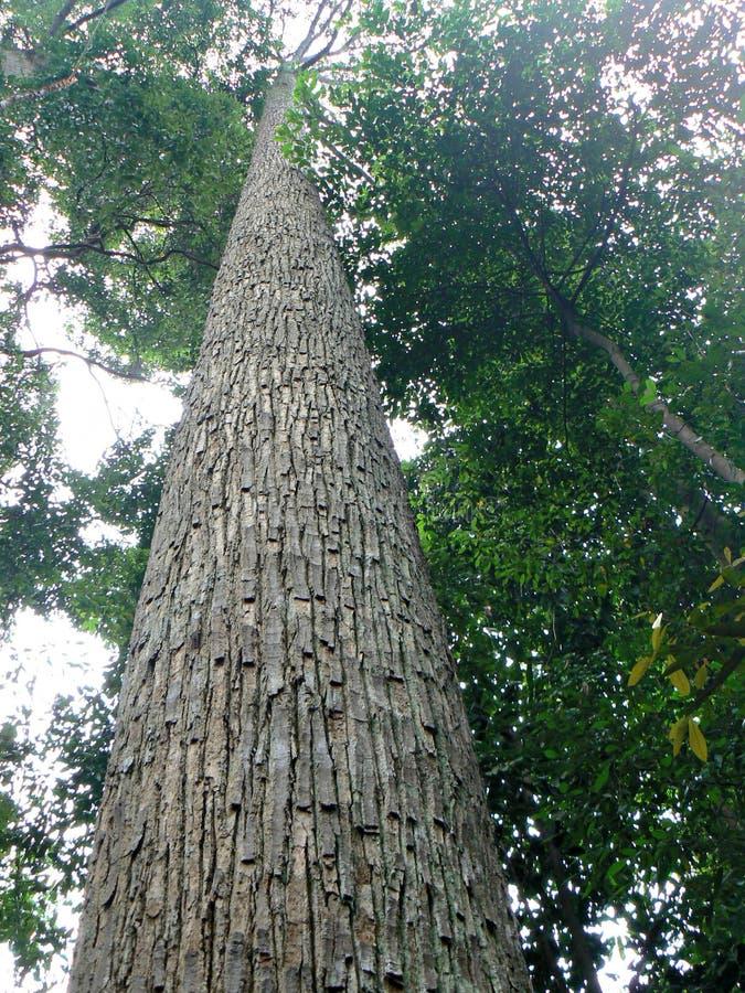 drzewo tropikalne wysoki obraz stock