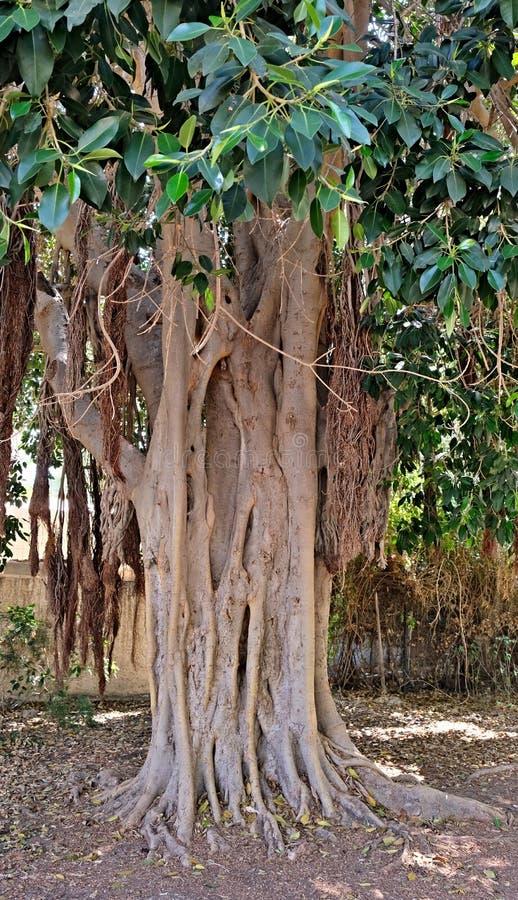 Drzewo tworzy niezwykłego obrazek czyj korzenie wynikali ziemię i rośli wraz z nowymi krótkopędami i bagażnikiem, obrazy royalty free