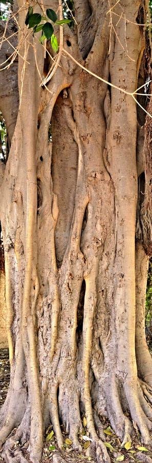 Drzewo tworzy niezwykłego obrazek czyj korzenie wynikali ziemię i rośli wraz z nowymi krótkopędami i bagażnikiem, obraz stock