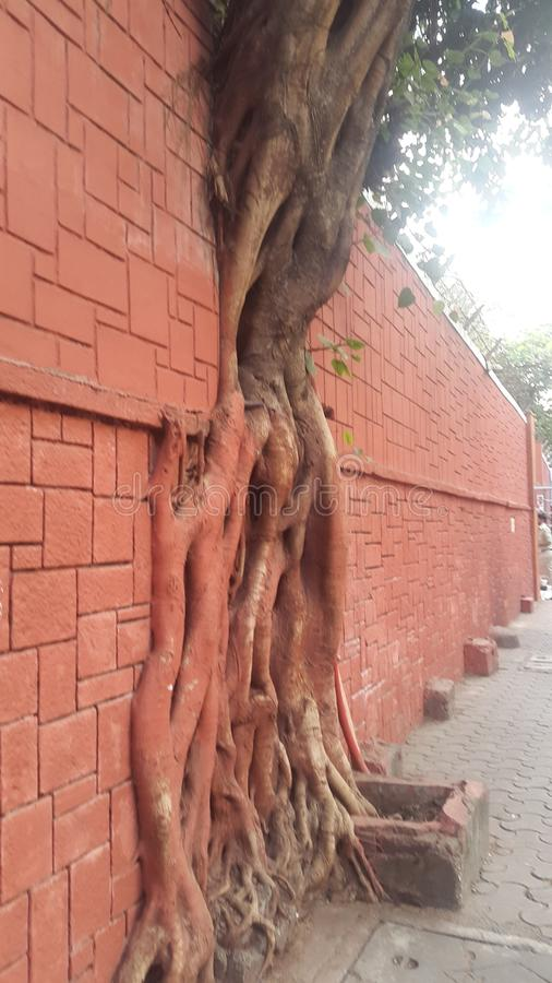 Drzewo w ścianie zdjęcie royalty free