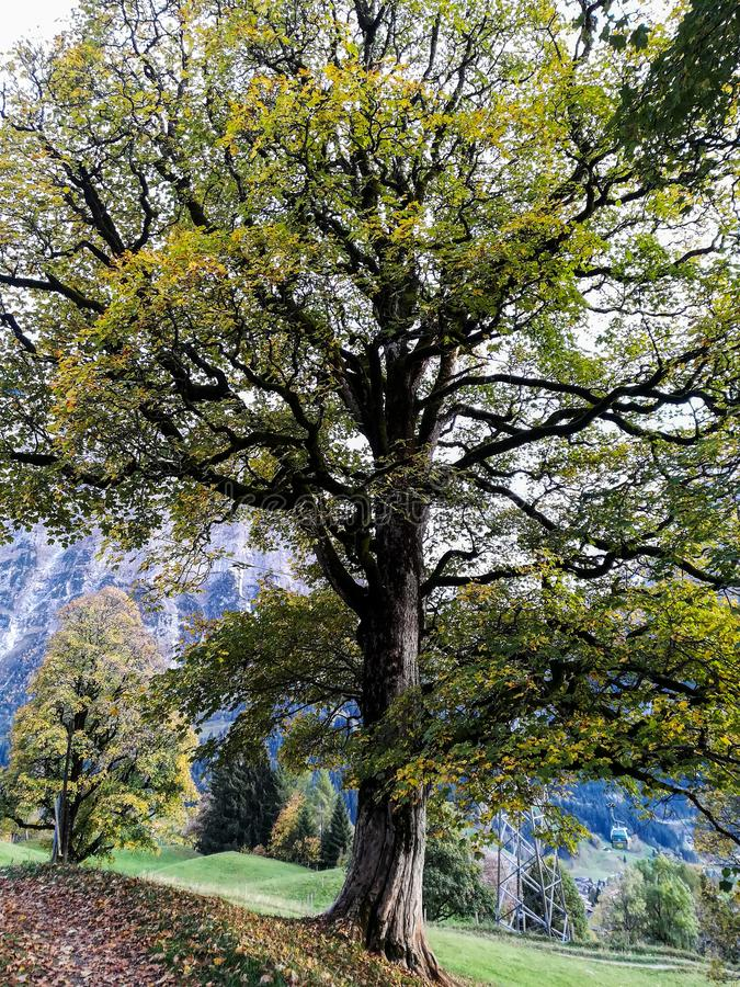 Drzewo w Grindelwald, Szwajcaria zdjęcie royalty free