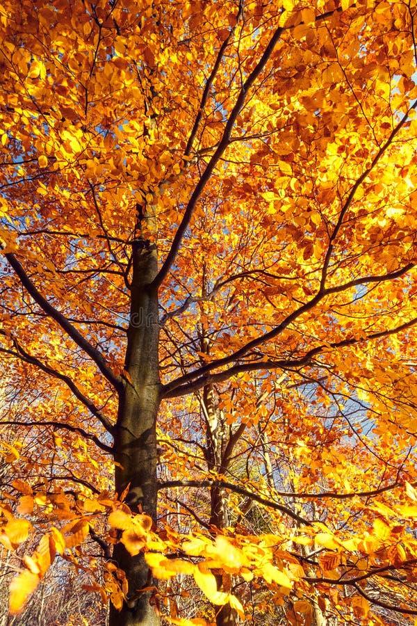 Drzewo w jesieni obrazy stock
