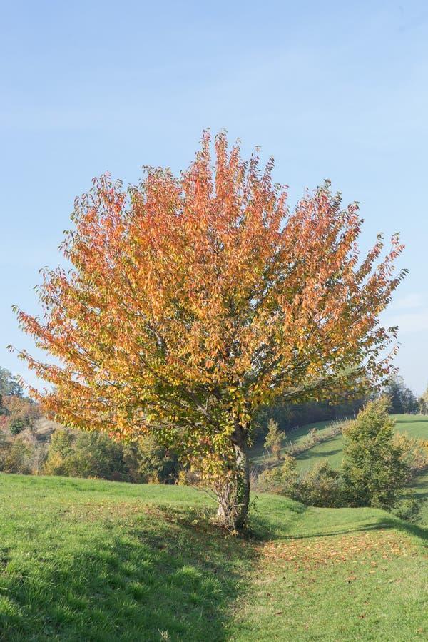Drzewo w jesieni na niebieskim niebie fotografia stock