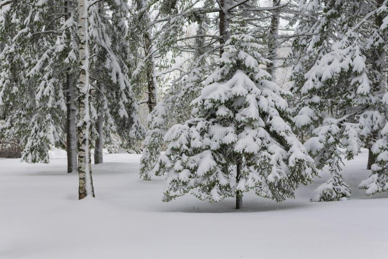 Drzewo w lesie pod śniegiem obrazy royalty free