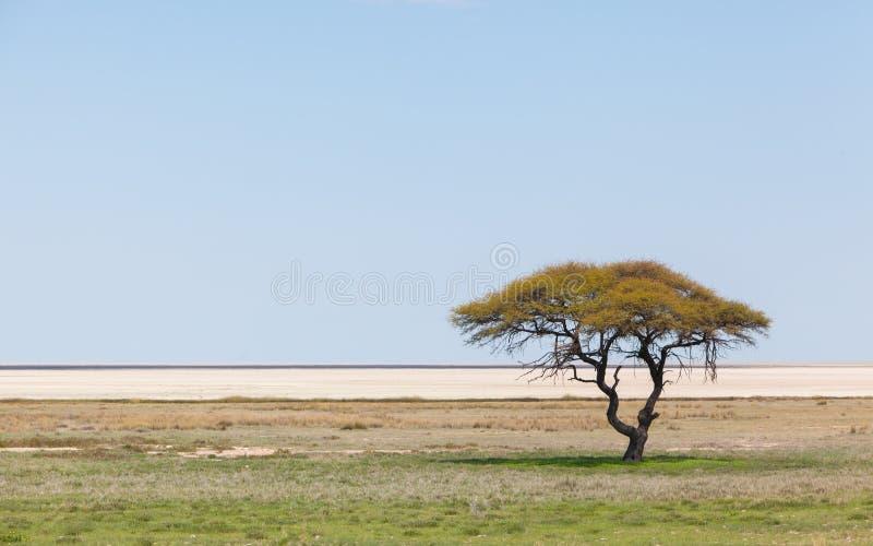 Drzewo w otwartym polu, Namibia obrazy stock