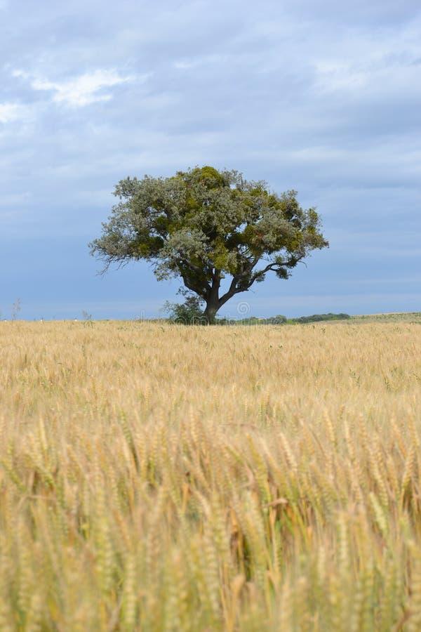 Drzewo w pszenicznym polu obraz royalty free