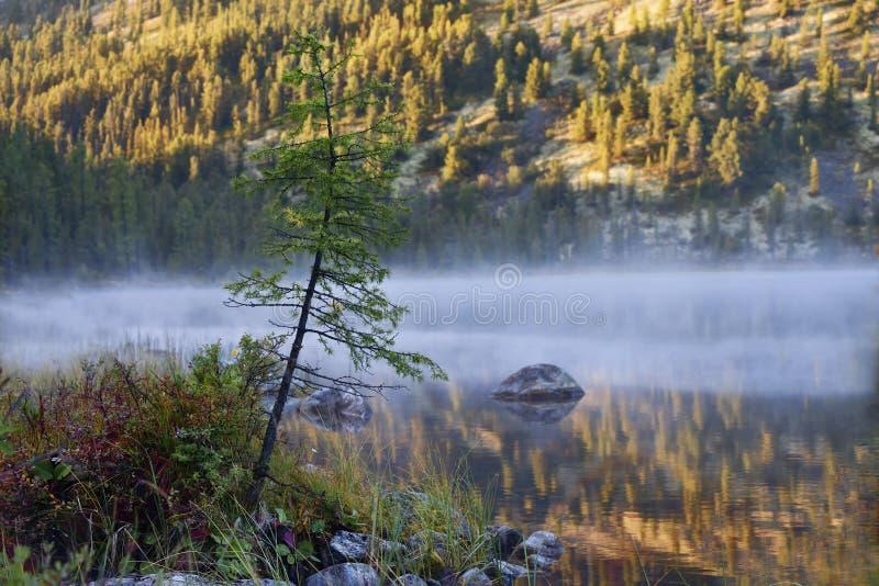 Drzewo w ranek mgle na jeziorze zdjęcie royalty free