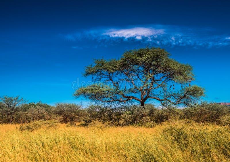Drzewo w sawannie, klasyczny afrykanina krajobraz obraz royalty free