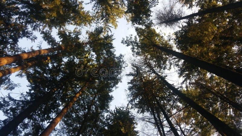 Drzewo wierzchołki są przyglądający niebieskie niebo zdjęcia royalty free