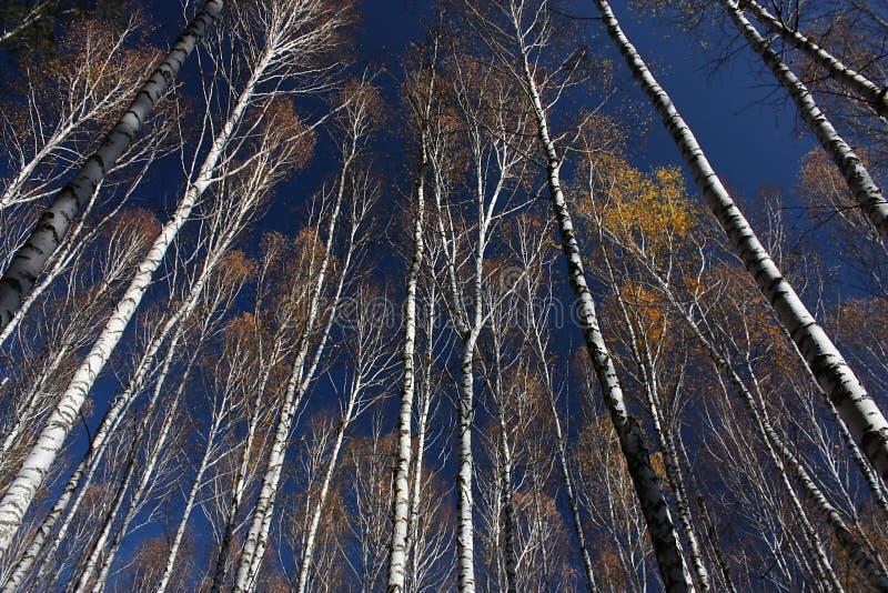 Drzewo wierzchołki w niebieskim niebie zdjęcia stock