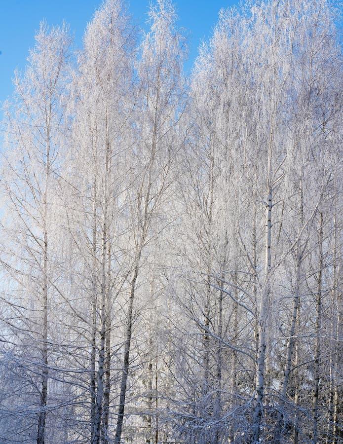drzewo wierzchołki z bielu mrozem zdjęcie royalty free