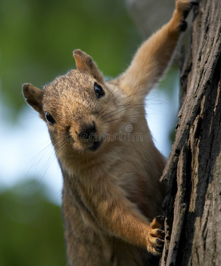 drzewo wiewiórka. obraz royalty free