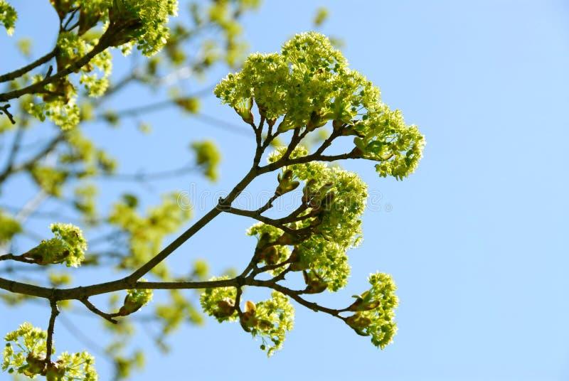 drzewo wiosny obraz royalty free