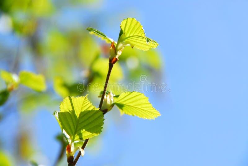 drzewo wiosny zdjęcia royalty free