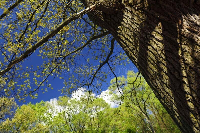drzewo wiosny fotografia royalty free