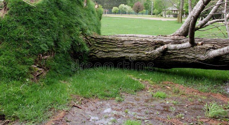 Drzewo wykorzeniający surową wiatrową burzą fotografia royalty free