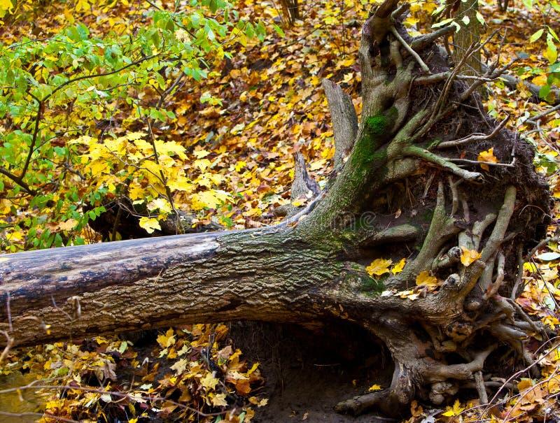 drzewo wykorzeniający obrazy royalty free