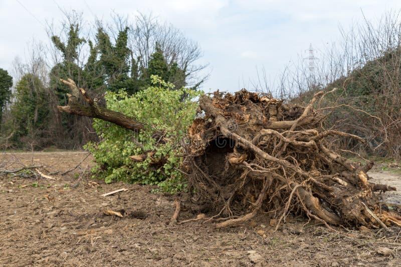 drzewo wykorzeniający obraz stock