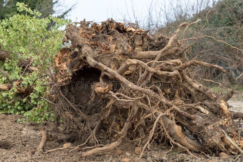 drzewo wykorzeniający zdjęcie royalty free