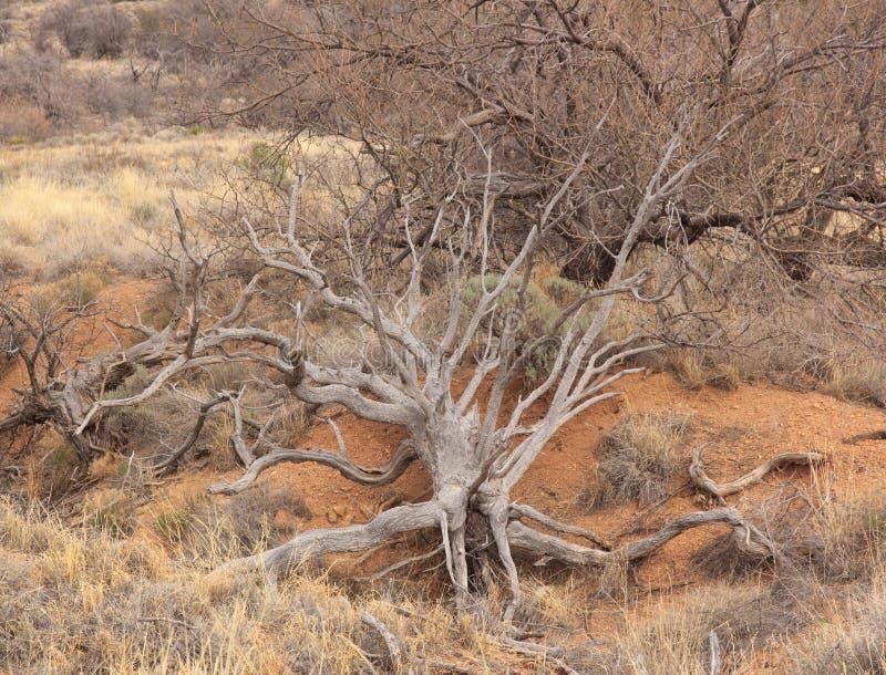 drzewo wykorzeniający arizonan USA obraz royalty free