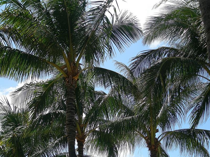Drzewo wyspa Oahu Hawaje obraz royalty free