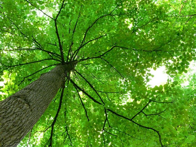 drzewo z baldachimem fotografia royalty free