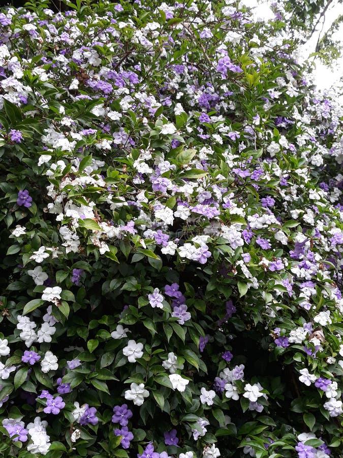 Drzewo z białymi i indygowymi kwiatami fotografia royalty free