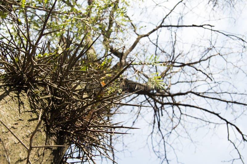 Drzewo Z cierniami położniczy problemy kłopot zdjęcie royalty free