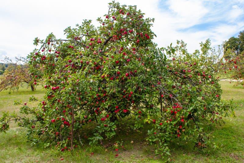 Drzewo z czerwonymi jabłkami w sadzie obraz royalty free