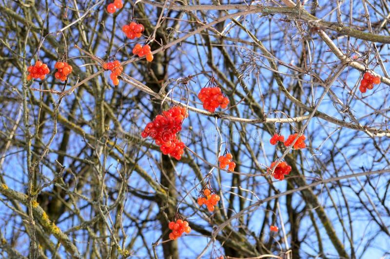 Drzewo z czerwonymi jagodami viburnum obraz stock