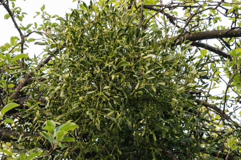 Drzewo z jemiołą - viscum fotografia royalty free