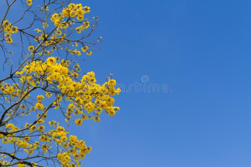 Drzewo z kolorem żółtym kwitnie pod niebieskim niebem zdjęcie royalty free