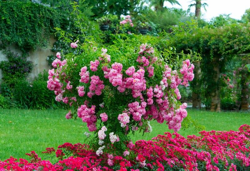Drzewo z menchiami kwitnie w ogródzie zdjęcie royalty free