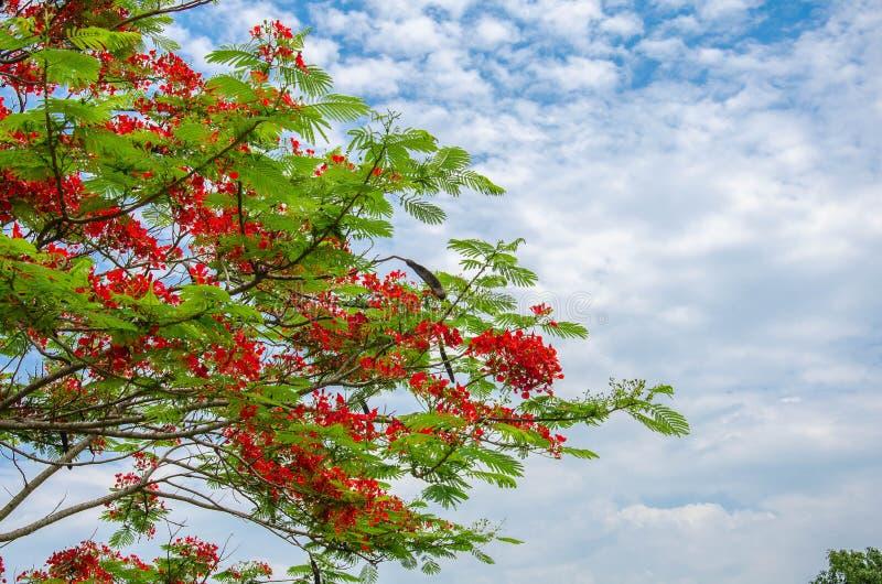 Drzewo z niebem przy Chiang raja w Thailand fotografia stock