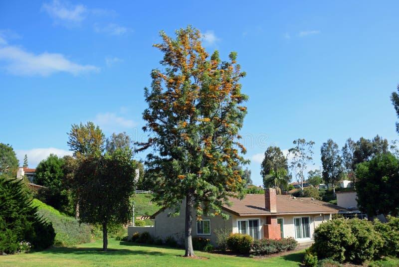 Drzewo z pomarańczowymi nitkowymi kwiatu i czerni ziarnami w Laguna drewnach, Kalifornia zdjęcia stock