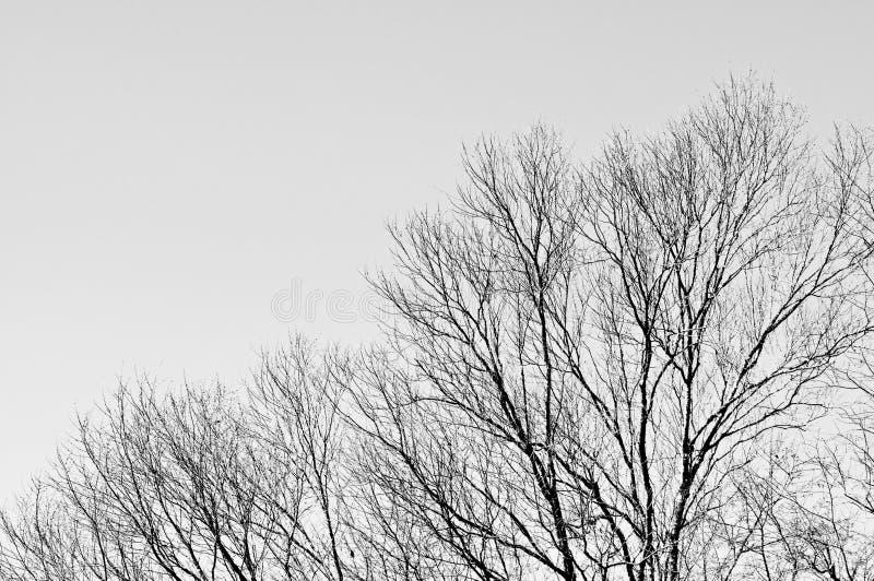 Drzewo z popielatym nieba tłem zdjęcie stock
