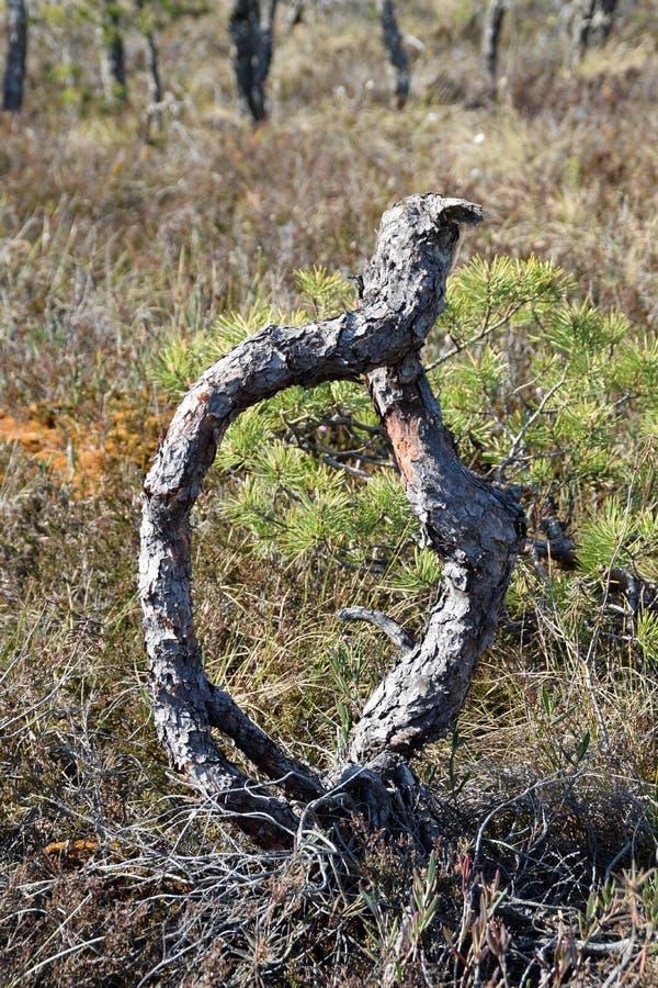 Drzewo z przegiętym trzonem obraz stock