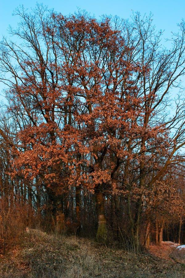 Drzewo z więdnącymi liśćmi obrazy royalty free