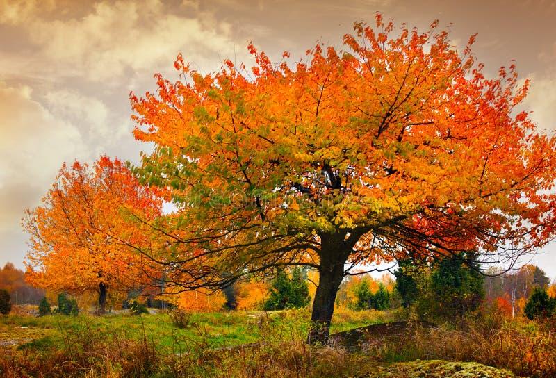 Drzewo z złotymi liśćmi obrazy stock
