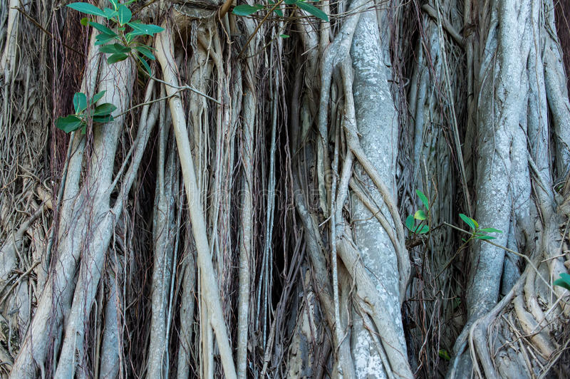 Drzewo zakorzenia dorośnięcie na odrewniałym trzonie obraz royalty free