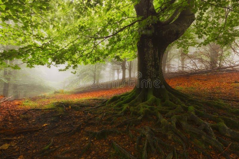 Drzewo zakorzenia w mgłowym mglistym lesie w Gorbea fotografia royalty free